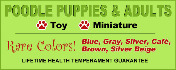 Poodle Puppies & Adults